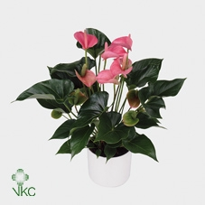 Anthurium andr. 'Pink Champion'
