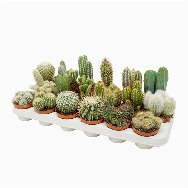 <h4>Cactus mix 8,5 cm.</h4>
