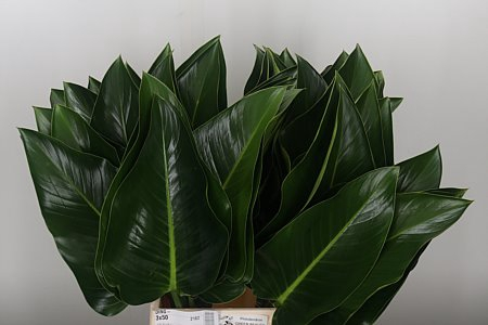 <h4>Philodendron Green Beauty</h4>
