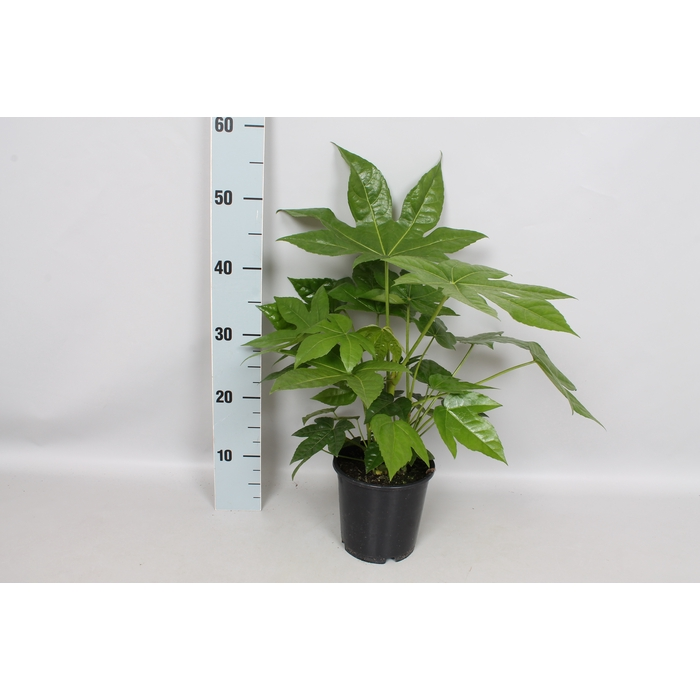 <h4>Fatsia japonica 15 cm</h4>