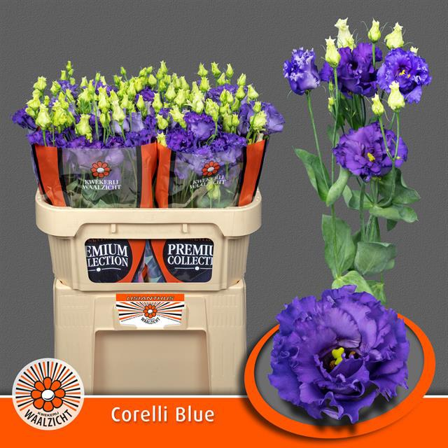 <h4>EUS G CORELLI BLUE</h4>