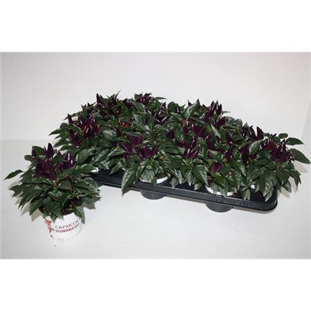 <h4>Capsicum Sombrero Acapulco Purple</h4>
