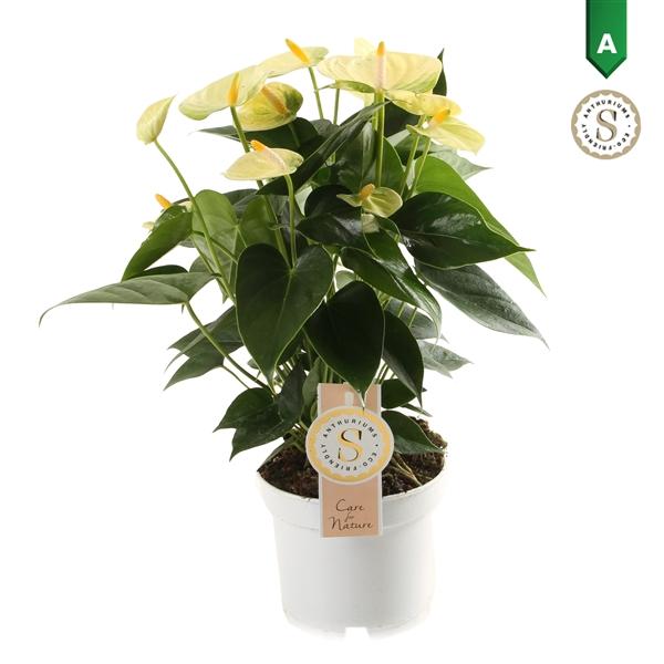 <h4>Anthurium Yellow Champion 12cm</h4>