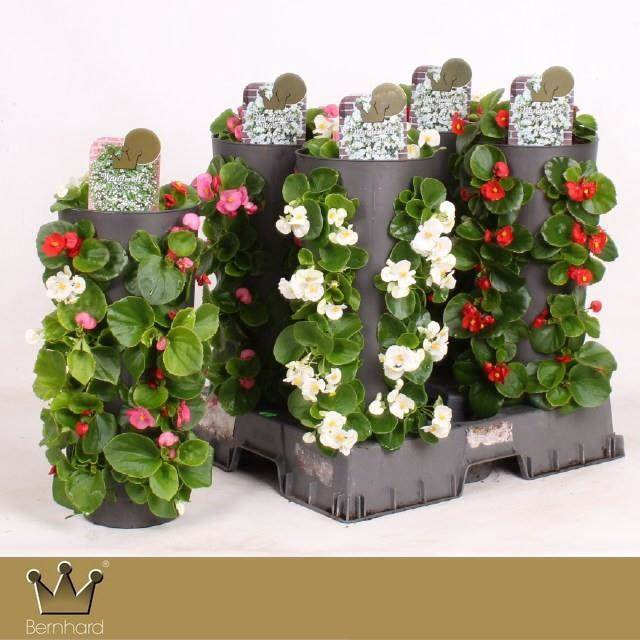<h4>Begonia Gemengd</h4>