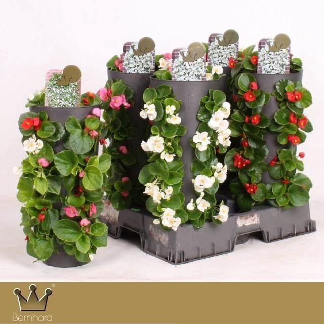 <h4>Begonia Gemengde Kar</h4>