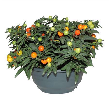 <h4>Solanum Pseudocapsicum Schaal</h4>