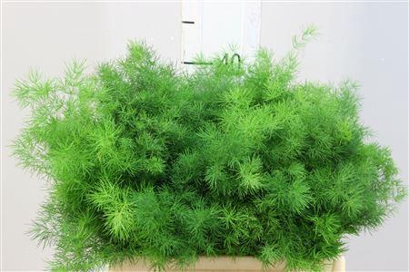 <h4>Asparagus Umbellatus 35</h4>