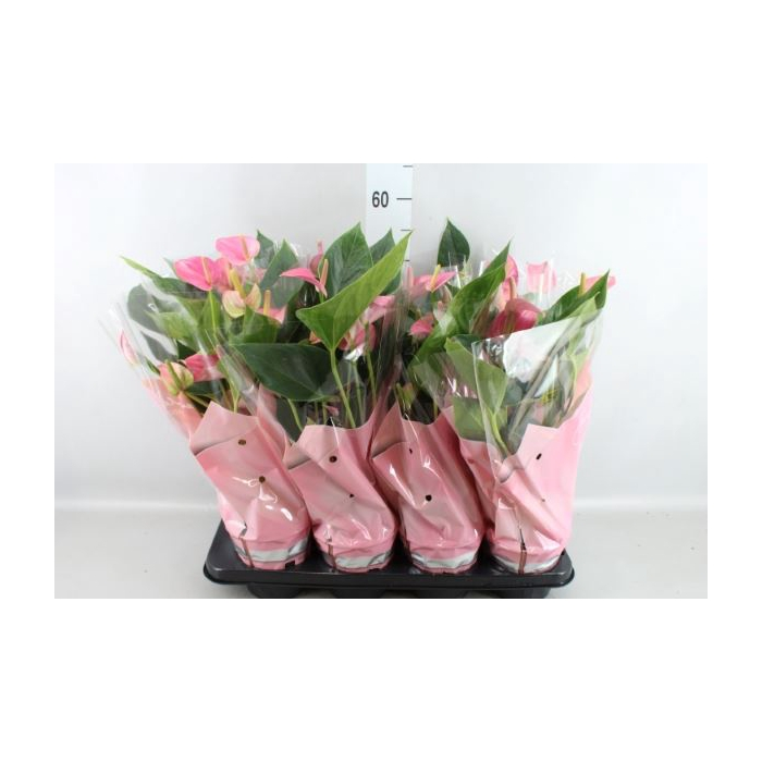 <h4>Anthurium andr. 'Pink Fever'</h4>