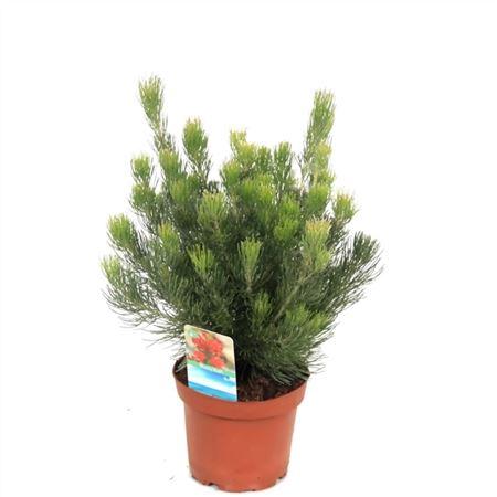 <h4>Adenanthos Ser Woolly Bush</h4>