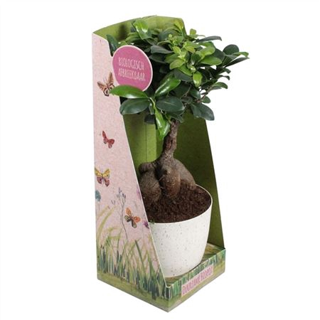 <h4>Ficus Mi Ginseng A5121956 Bio Pot</h4>