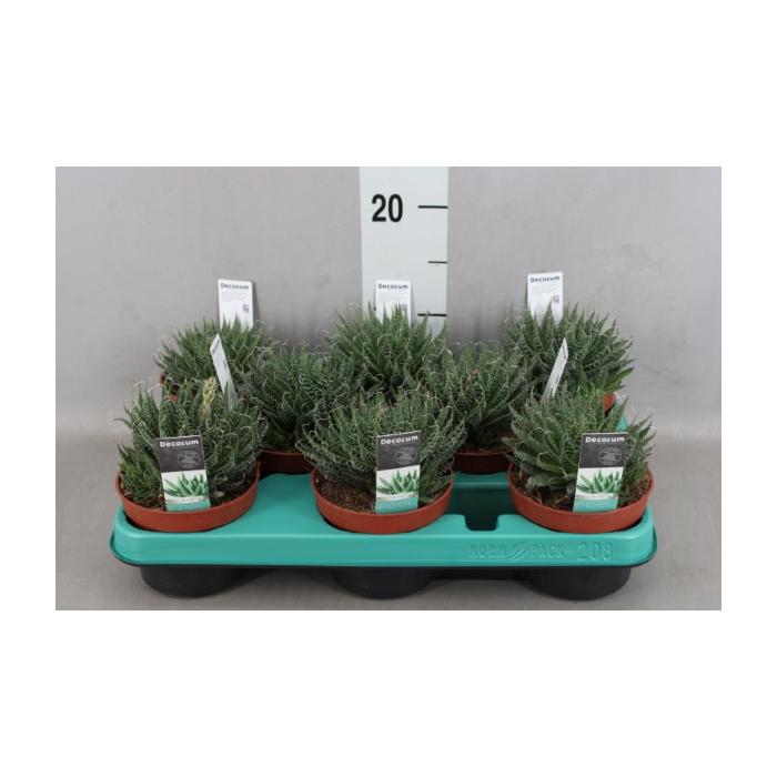 <h4>Aloe aristata</h4>