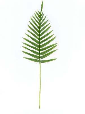 <h4>Af Fern Palm Lvs Grn 65cm Rt</h4>