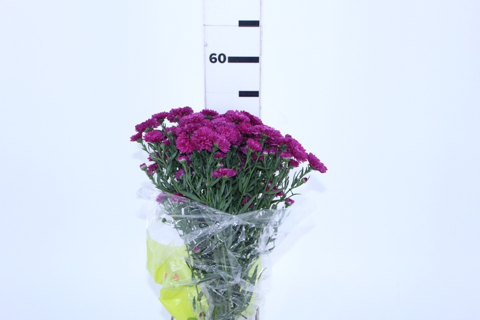 <h4>ASTER MARIANA 050 CM PINK</h4>