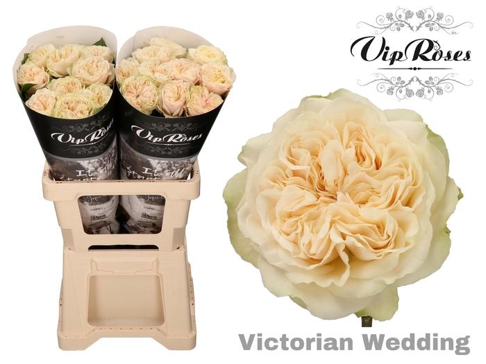R GR VICTOR WEDDING+ x 20