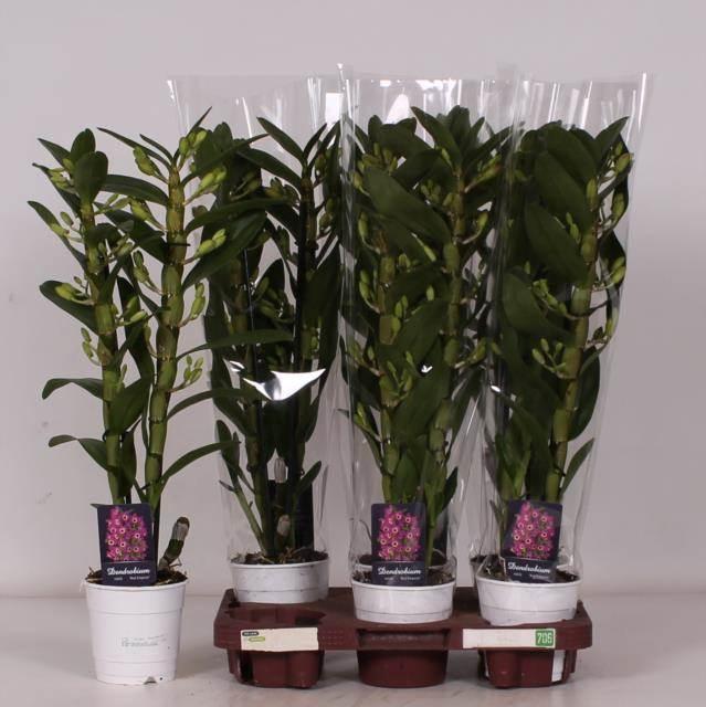 <h4>Dendrobium N Sunny Eyes 2 Tak</h4>