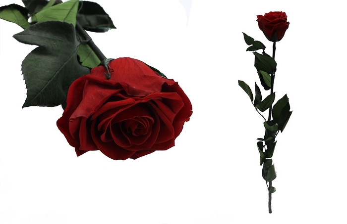 <h4>Rosa preservada vibrant red</h4>