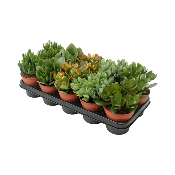 <h4>Crassula mix</h4>