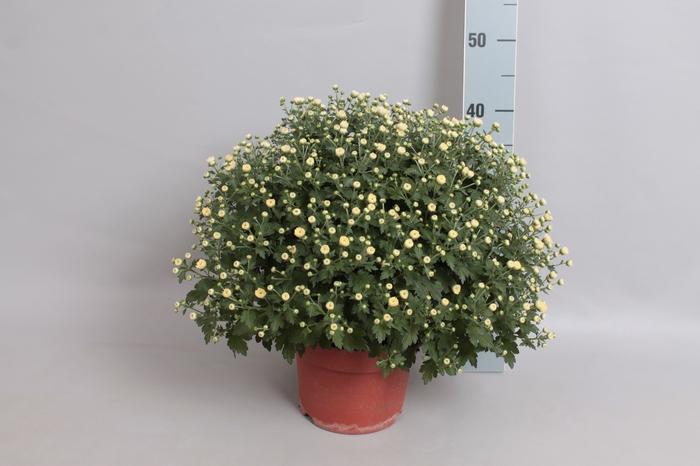 <h4>Bol chrysant Jasoda White</h4>
