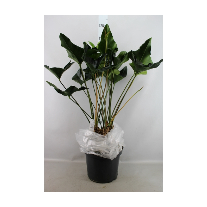 <h4>Anthurium  'Arrow'</h4>