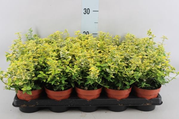 <h4>Euonymus fortunei 'Emerald n Gold'</h4>