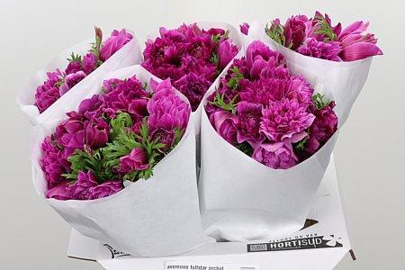 <h4>Anemone Fullstar Orchid</h4>