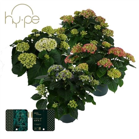 <h4>Hydrangea Curly Wurly Mix 7+</h4>