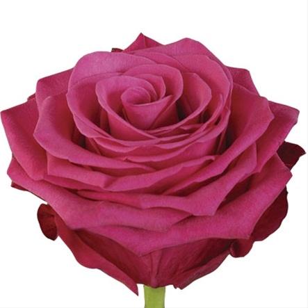 <h4>Rosa gr Roseberry (Nevado)</h4>