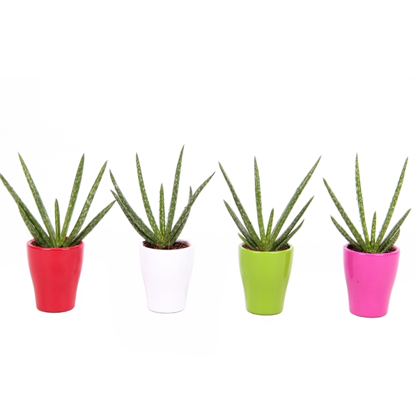 <h4>Aloe Vera in gekleurd keramiek</h4>