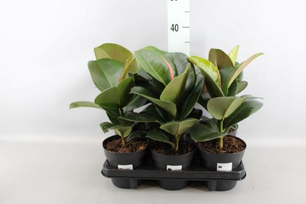 <h4>Ficus elastica   ...</h4>