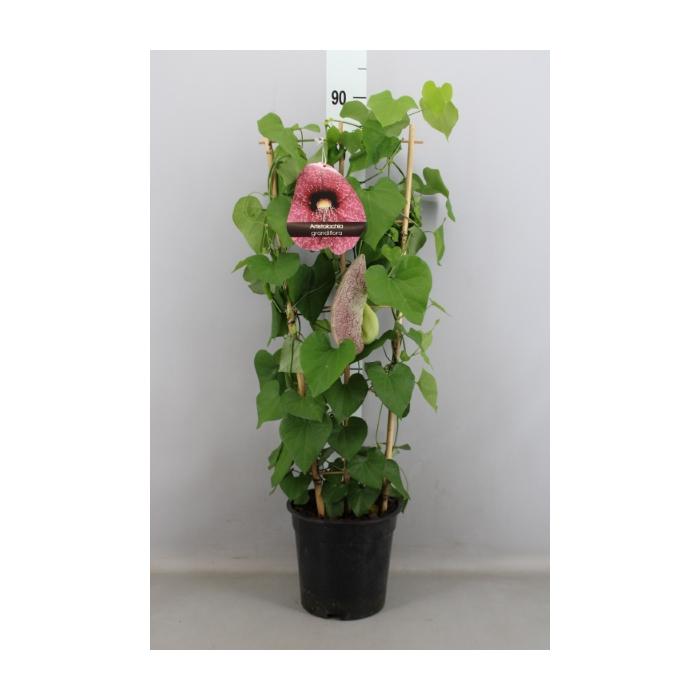 <h4>Aristolochia macrophylla</h4>