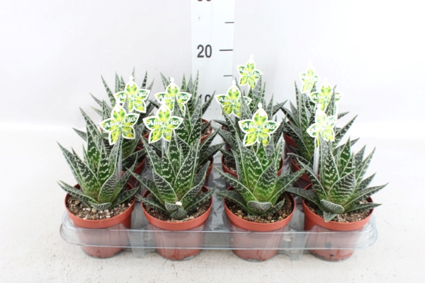 <h4>Aloe aristata 'Tiki Tahi'</h4>
