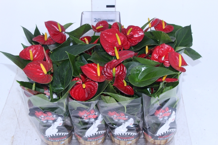 <h4>ANTHURIUM RED SUCCESS P09</h4>