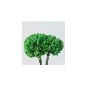 Hydrangea / Hortensia Green HRT/0100