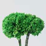 <h4>Hydrangea / Hortensia Green HRT/0130</h4>