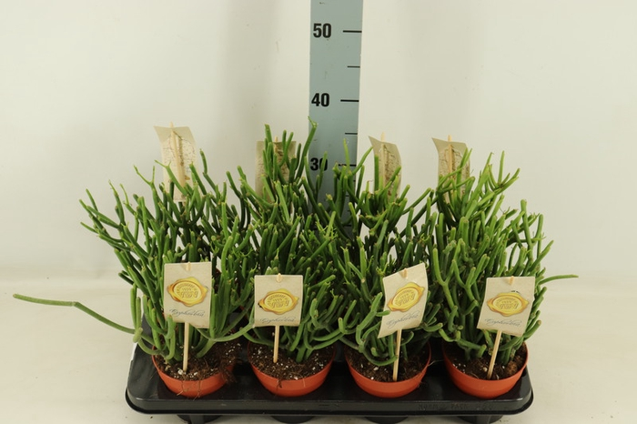 <h4>Euphorbia tirucalli</h4>