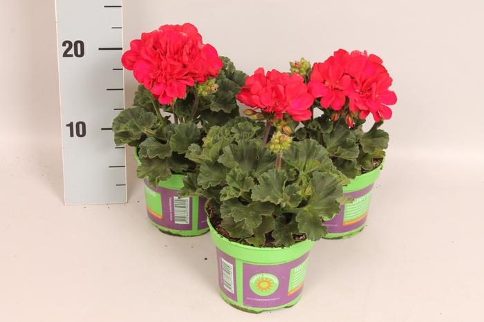 <h4>Pelargonium zonale Dark Red</h4>