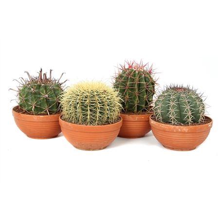 <h4>Cactus Canarias Schaal 23 Cm</h4>