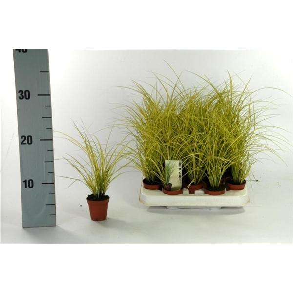<h4>Carex brunnea 'Jenneke' p5,5</h4>