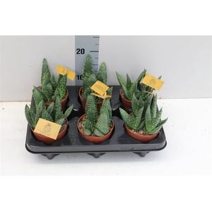 Aloe Paradisicum