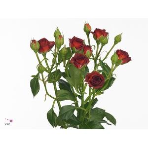 Rosa sp. Chococcino