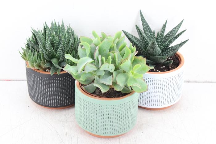 <h4>pl. AM 244 - Succulent aneta ceramics</h4>