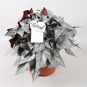 Begonia Beleaf Arctic Breeze