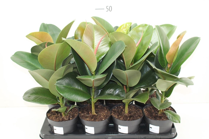 <h4>Ficus Elastica Cloe</h4>