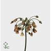 Allium Nectarscordum Siculum Bulgar