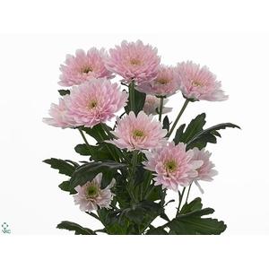 Chrys. spray euro rosa