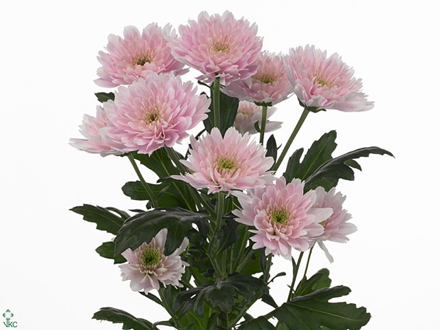 <h4>Chrysanthemum spray euro rosa claro</h4>