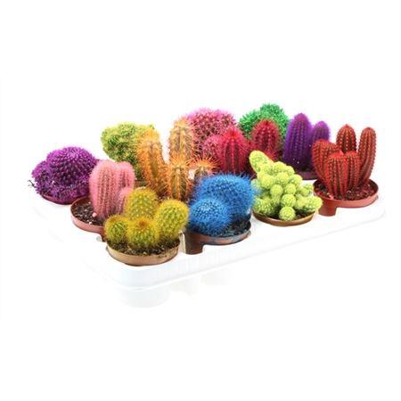 <h4>Cactus Rainbow Gemengd</h4>