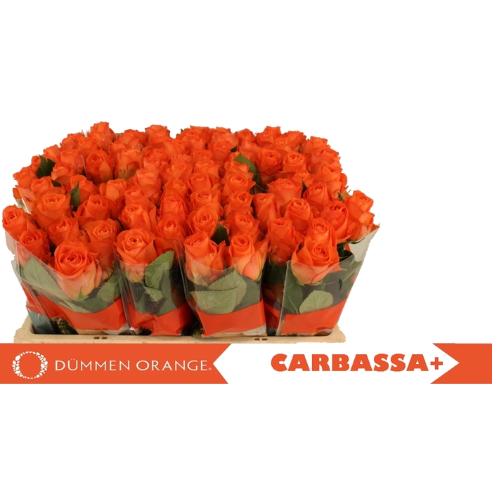 <h4>R GR CARBASSA+</h4>