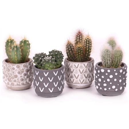 "<h4>Cactus Mix 5,5 Cm In ""tonsberg"" Sierpotje</h4>"