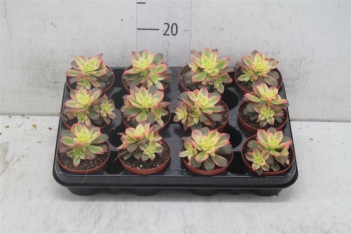 <h4>Aeonium Tricolor ('kiwi')</h4>